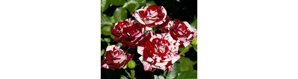 Спрей-розы (семейная, букетная)