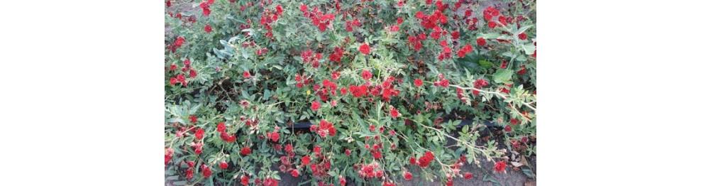Бордюрные и миниатюрные розы