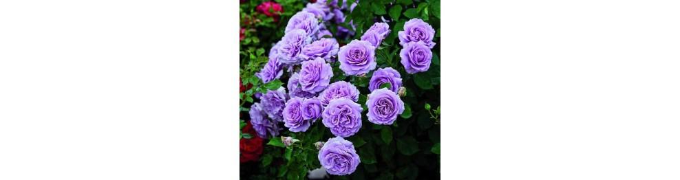 Розы Флорибунда (обильноцветущие).
