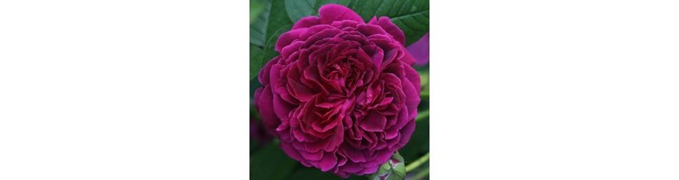 Английские розы (романтические, ностальгические, старинные).