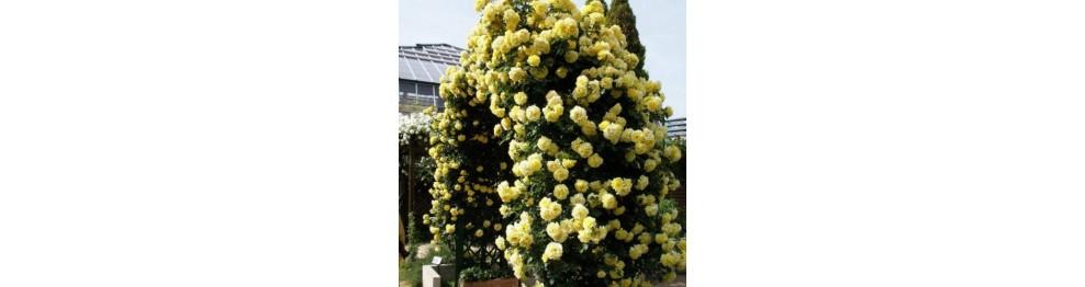 Плетистые розы (вьющиеся).