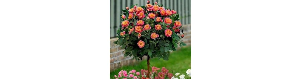 Штамбовые розы.