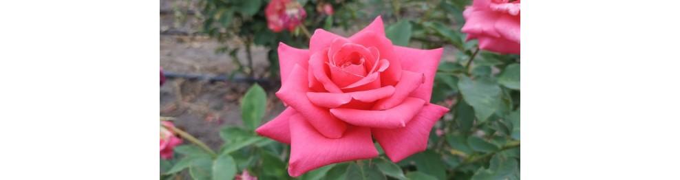 Розовые, малиновые розы