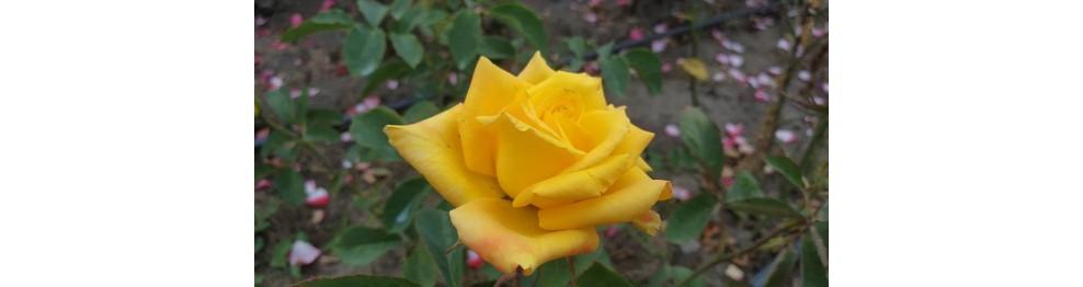 Жёлтые, лимонные, зелёные розы